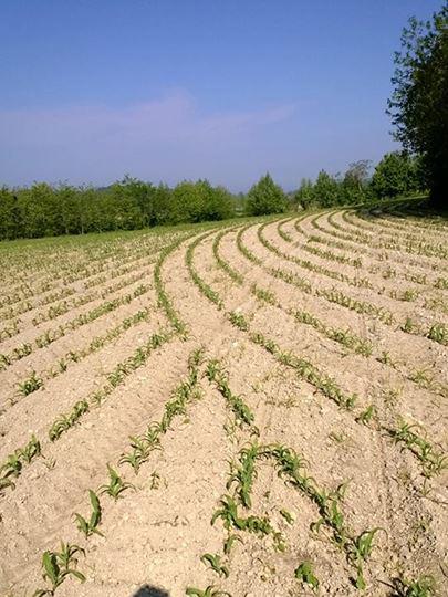 Risultato della semina dopo l'uso del Geo Seed,  il sistema che elimina le sovrapposizioni.