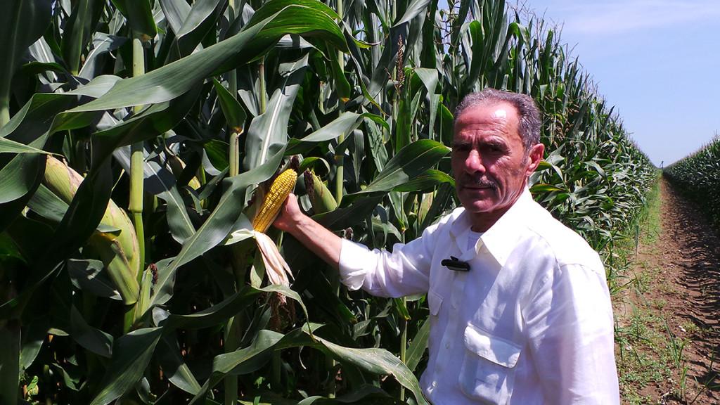 Nonostante un'annata bizzarra, Luciano Lanza mostra anche quest'anno delle splendide spighe di mais molto ben conformate.