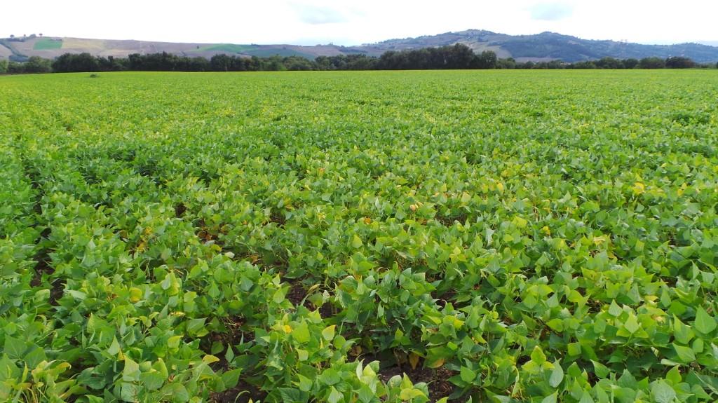 Un campo di fagiolo borlotto, che insieme al grano e alla soia quest'anno ha occupato i circa 100 ettari destinati alle colture estensive di Borgo di Luce.