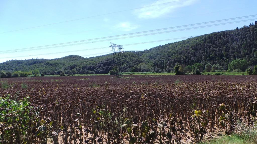 Il girasole è una delle colture, insieme al grano e al mais, che viene coltivata dai Simonetti applicando la minima lavorazione con un passaggio di Qualidisc.