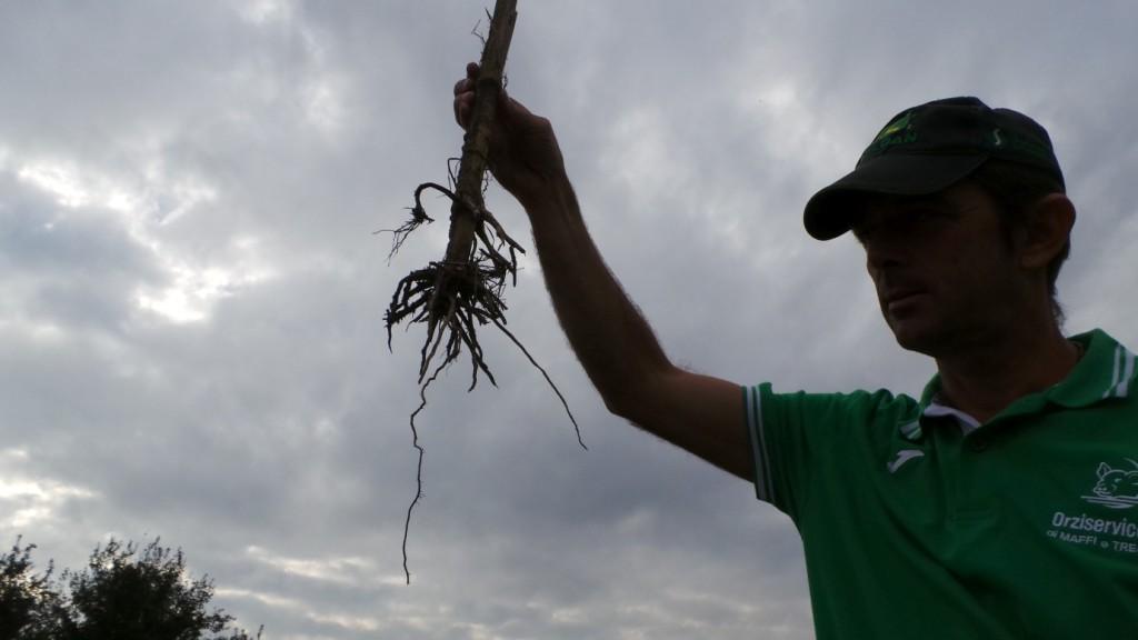 L'apparato radicale del mais deve aver la possibilità di espandersi in profondità per evitare stress alla coltura, e per questo il terreno non va compattato ma deve risultare ben strutturato.