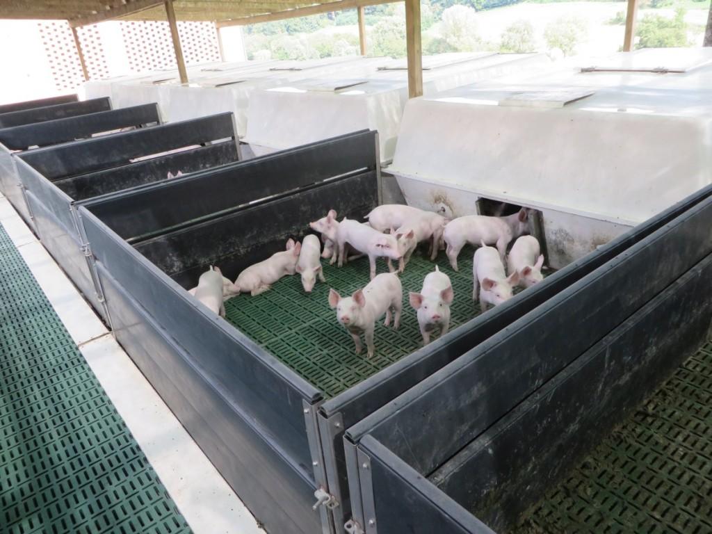 Nella Tenuta di Corte vengono allevati 4000 suini destinati al circuito dei prodotti Dop della Toscana.