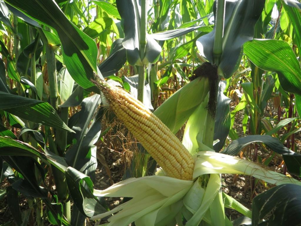 Tutto il mais prodotto viene destinato all'alimentazione dei suini. Il prossimo anno Lascialfari ha intenzione di provare l'irrigazione con ala gocciolante abbinata alla lavorazione a strip till.