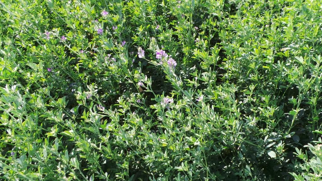 Le colture azotofissatrici come la medica rientrano nelle colture che si possono seminare nelle aree di interesse ecologico previste dal greening.