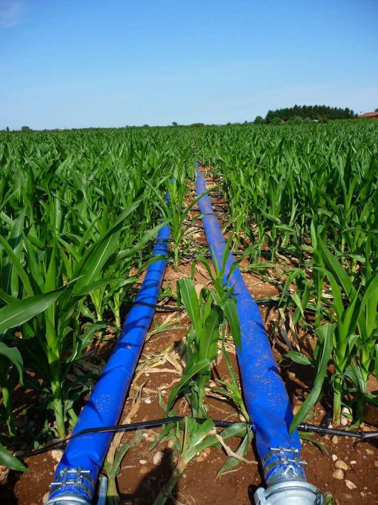 Irrigazione a goccia del mais.