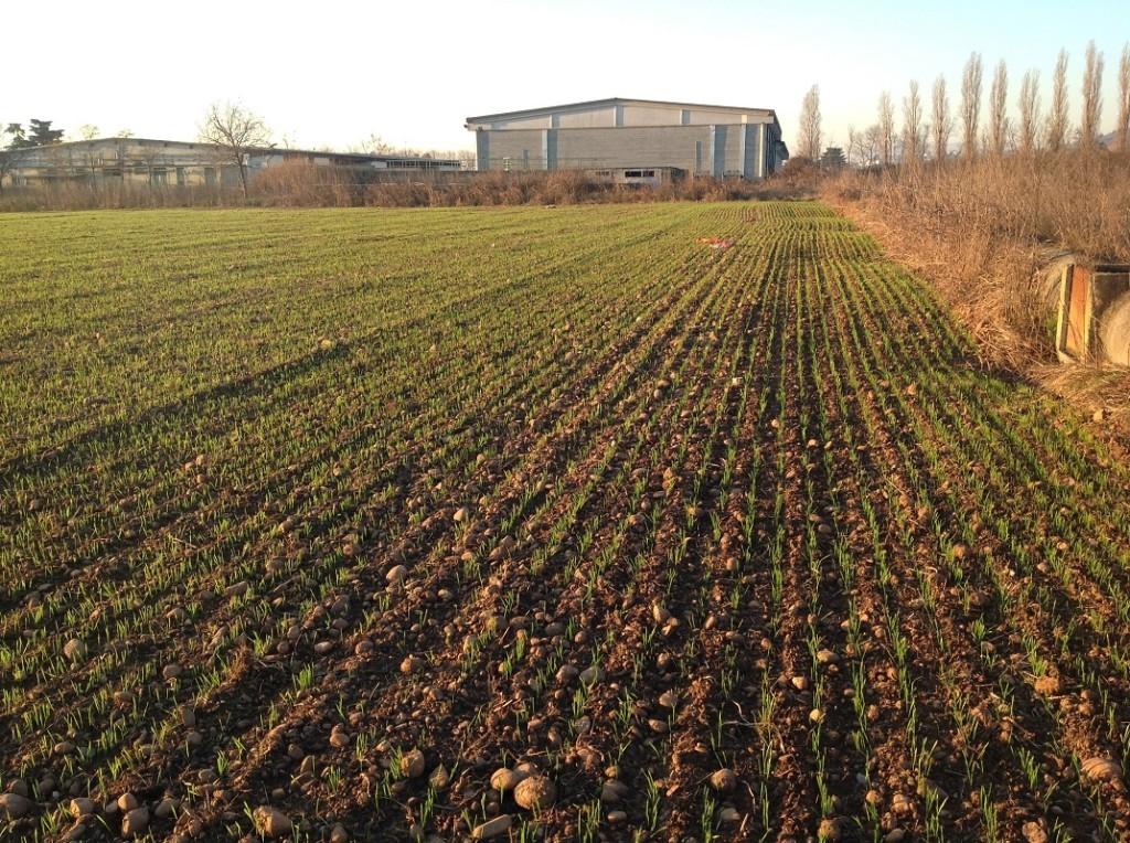 La fantastica emergenza del frumento foraggero Ludwig seminato su minima lavorazione dalla seminatrice combinata S-Drill di Kverneland.