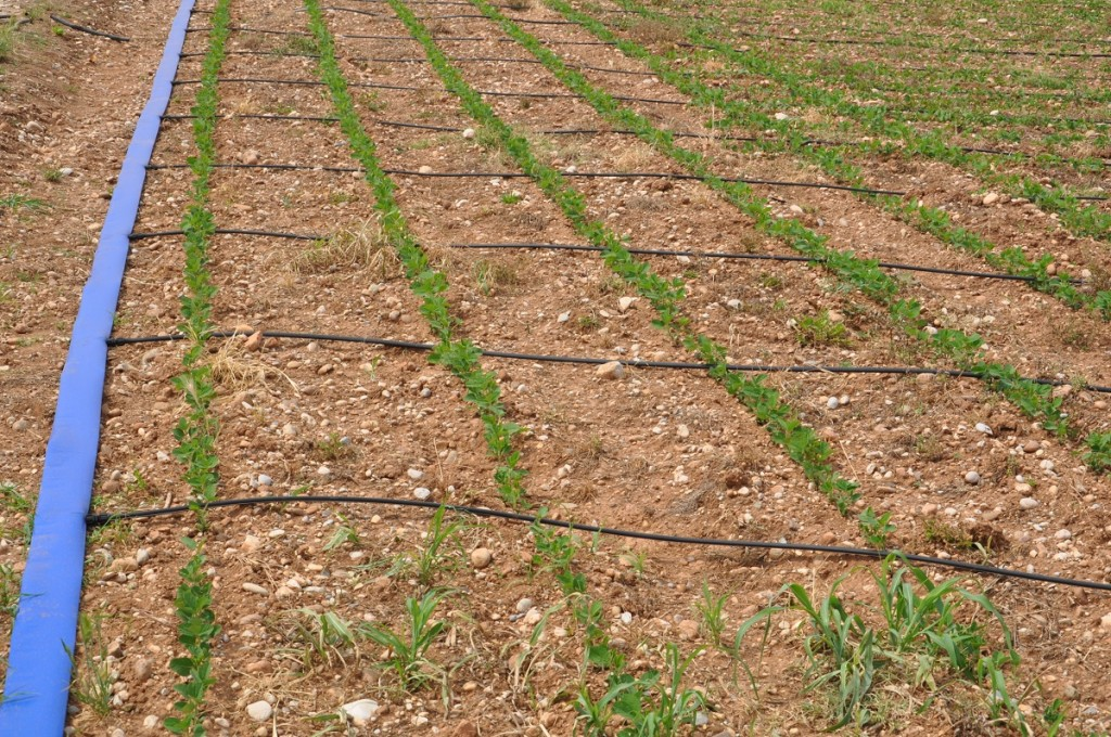 Soia italia nasce un associazione per tornare a for Sistema irrigazione