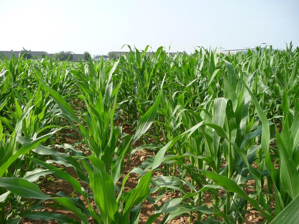 Per ottenere ottime rese dal mais non si può prescindere dagli interventi di diserbo chimico, scegliendo in maniera corretta prodotti, dosi ed epoche di intervento.